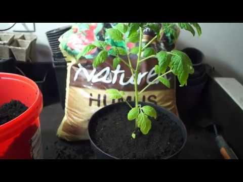 Pomidorki koktajlowe. Sadzenie rozsady pomidorów koktajlowych do doniczek docelowych.